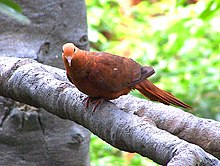Macropygia emiliana (Ruddy Cuckoo Dove)8.jpg