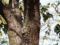 Maddi-kayalu (Telugu- మద్దికాయలు) (3206117263).jpg