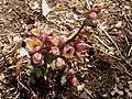 Madison Sq Park - Helleborus x ballardiae possibly 'COSEH 710' Pink Frost.jpg