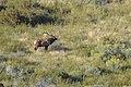 Magnificently antlered bull elk. (d663316f-9bc5-4f67-ba51-d7b637a708f7).jpg