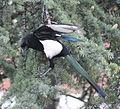 Magpie in Madrid (Spain) 26.jpg