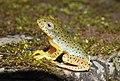 Malabar Gliding Frog Rhacophorus malabaricus Juvenile by Dr. Raju Kasambe DSCN0188 (19).jpg