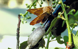 Forest tent caterpillar moth - Adult and egg mass