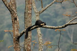 Jigme Singye Wangchuck National Park - Malayan giant squirrel (Ratufa bicolor) on the way to Korphu