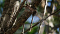 Male Blue-spotted Hawker (13162472785).jpg