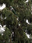 Male Malabar Parakeet (28994199665).jpg