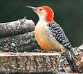 Male Red Bellied Wood Pecker.jpg