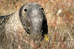 Male elephant seal.jpg