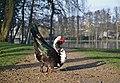 Male muscovy duck stretching in molenvijverpark, Genk, Belgium (DSCF3036).jpg