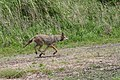 Male red wolf being released (6350140781).jpg