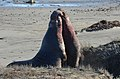 Males fighting to the last drop of blood, Northern Elephant Seal (Mirounga angustirostris) (12514015764).jpg