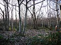Mallins Plantation - geograph.org.uk - 1116320.jpg
