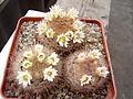 Mammillaria penispinosa.JPG