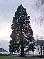 Mammutbaum Gesamtansicht.jpg