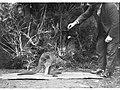 Man feeding a wallaby(GN13748).jpg