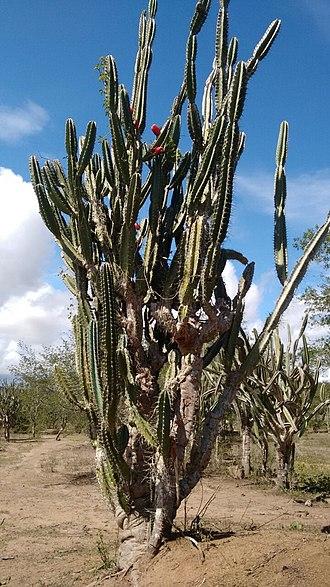 Caatinga - Cereus jamacaru