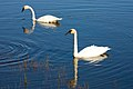 Mandj98 - Trumpeter Swans - Seney National Wildlife Refuge (by).jpg