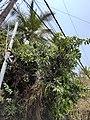 Mango Tree Hyderabad.jpg