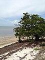 Mangrove - panoramio (6).jpg