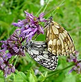 Marbled Whites mating...male below (16144005231).jpg