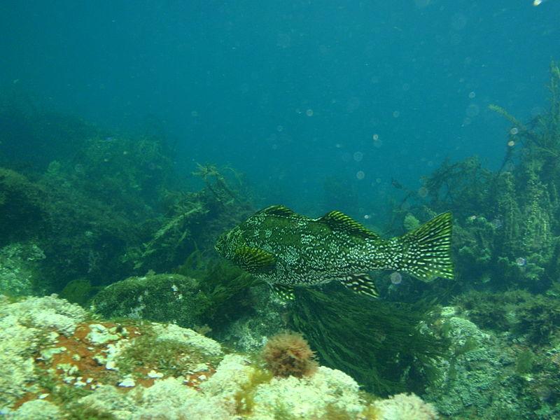 File:Marblefish at Mayor Island PB154591.JPG