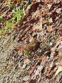 Margarops fuscatus (Aves).jpg