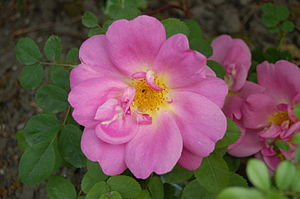 Rosa 'Nevada' - The pink sport 'Marguerite Hilling', introduced by Thomas Hilling in 1959