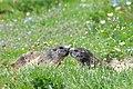 Marmotta (5).jpg