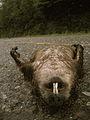 Marmotte morte.JPG