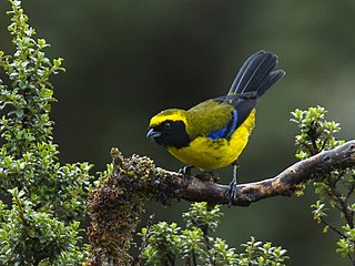 Masked mountain tanager