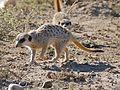 Meerkats (Suricata suricatta) foraging ... (32187251340).jpg