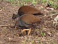Megapodius reinwardt -Port Douglas, Queensland, Australia -two-8.jpg