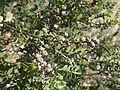 Melaleuca cheelii foliage.jpg