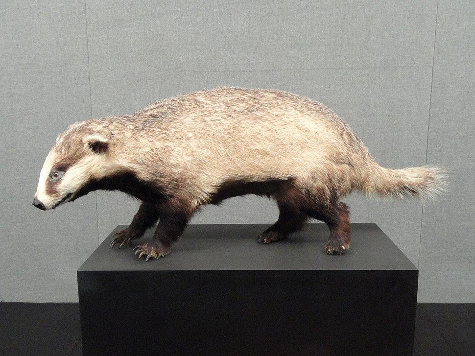 Meles leucurus - Kunming Natural History Museum of Zoology - DSC02498