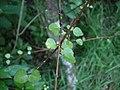Melicope simplex 11.JPG