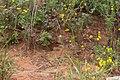 Melinis repens subsp grandiflora-2449 - Flickr - Ragnhild & Neil Crawford.jpg