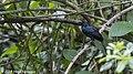 Melodious Blackbird, Costa Rica, Januaru 2018 (39642163934).jpg