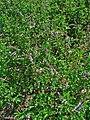 Mentha spicata var. crispa 001.JPG