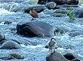 Merganetta armata (Pato de torrente) - Flickr - Alejandro Bayer (3).jpg