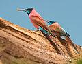 Merops nubicus luc viatour-another crop.jpg