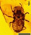 Mesophthirus engeli fig1 J.jpg