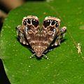 Metalmark Moth (Brenthia sp., Choreutidae) (16891823956).jpg