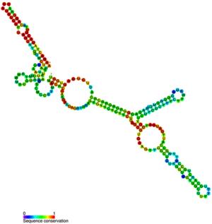 Small nucleolar RNA U3 - Image: Metazoan U3 secondary structure
