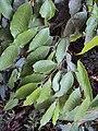 Meteoromyrtus wynaadensis 21.JPG
