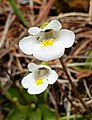 Microbotryum alpinum on Pinguicula alpina (Poedoux).jpg