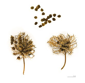 Mimosa pudica - Mimosa pudica seeds