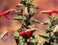 Mimulus cardinalis.png