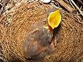 Mimus polyglottos three days old 04.jpg