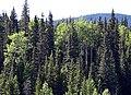 Mixedwood forest.jpg