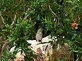 Mockingbird (27428704388).jpg